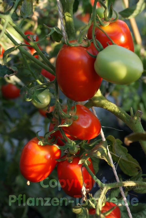 Tomate, Buschtomate Roma VF Jungpflanze