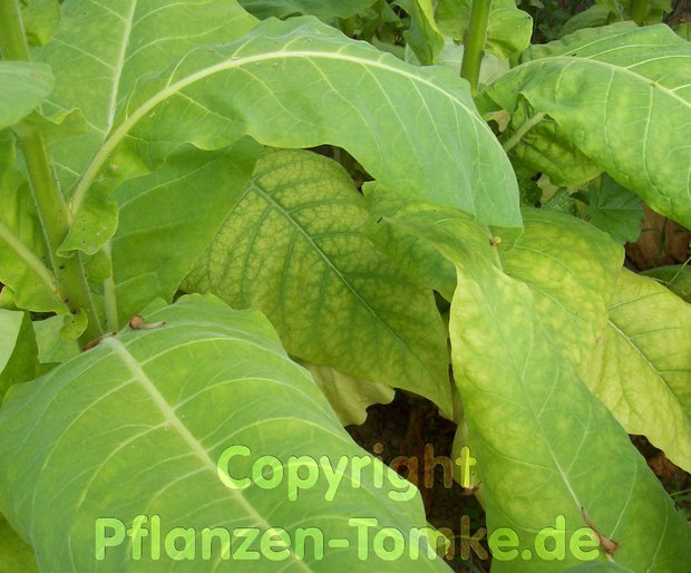 Tabak Samen Rot Front Nicotiana tabacum