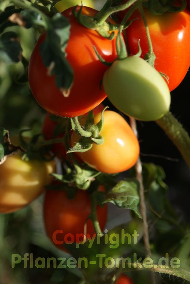 Tomate, Stabtomate Hellfrucht Jungpflanze