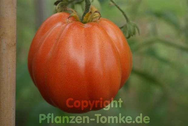 Tomate, Fleischtomate Red Pear Jungpflanze